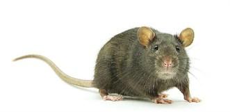 RAT_CROP-1_F10954599_744804.JPG